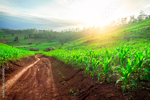 Fotografia Cornfield in the summer landscape with road blue sky and beauty sun shining