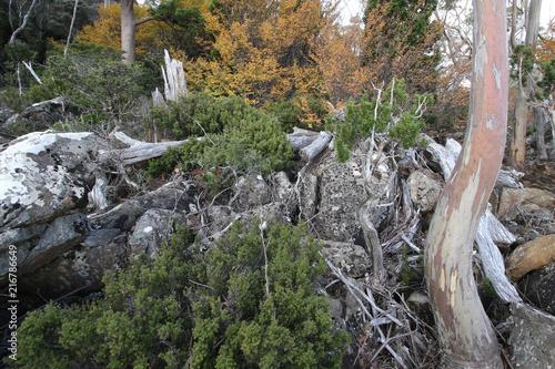 Fotografia, Obraz  Autumn in Mount Field National Park - Tasmania, Australia