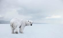 Polar Bear On A Walk