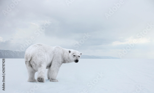 Photo sur Aluminium Ours Blanc Polar bear on a walk