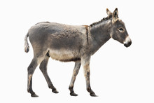 Donkey Isolated A On White