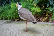 Masked Lapwing Bird, Vanellus Miles, Also Known As Masked Plover Or Spur-Winged Plover