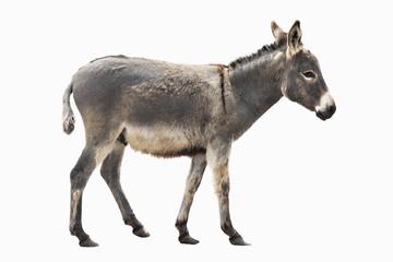 magarac izolirao a na bijelom
