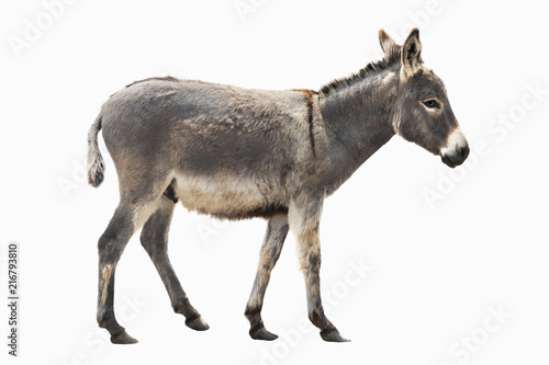 Montage in der Fensternische Esel donkey isolated a on white