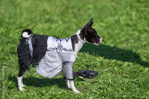 Poster Chien dog basenji in a Spanish dress on a background of green grass cl