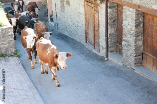 Photo Cows herd morning walk