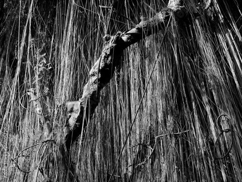 banyan black and white Canvas Print