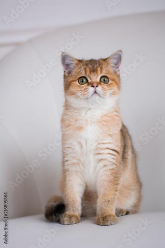 Vászonkép kitten cat scottish straight, lop-eared fluffy, animal