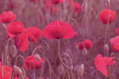 Staande foto Roze Flowers Red poppies blossom on wild field. Beautiful field red poppies with selective focus. Red poppies in soft light. Opium poppy. Glade of red poppies. Toning. Creative processing in dark low key