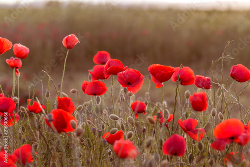 Foto op Aluminium Klaprozen Flowers Red poppies blossom on wild field. Beautiful field red poppies with selective focus. Red poppies in soft light. Opium poppy. Glade of red poppies. Toning. Creative processing in dark low key