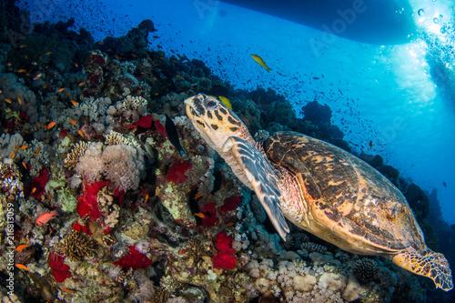 Fototapeta Hawksbill Turtle obraz na płótnie