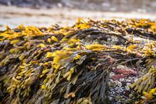 Seaweed, Bladderwrack (Fucus V...