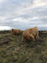 Highland Cattle On Field In Isle Of Man
