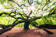 canvas print picture - Sun rise at Angel Oak Tree in South Carolina