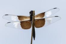Widow Skimmer (Libellula Luctuosa) On A Perch, Iowa, USA