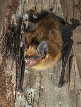 Big Brown Bat (Eptesicus Fuscus), Iowa, USA