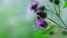 Macro Of A Small Wild Gray Bee...