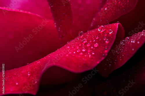 Obraz Red rose closeup with water drops. - fototapety do salonu