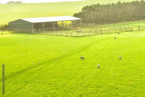 Foto op Aluminium Oceanië Aerial View of Sheep Farm Near the Great Ocean Road