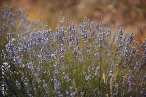 Cadres-photo bureau Pissenlits et eau Lavender field in France