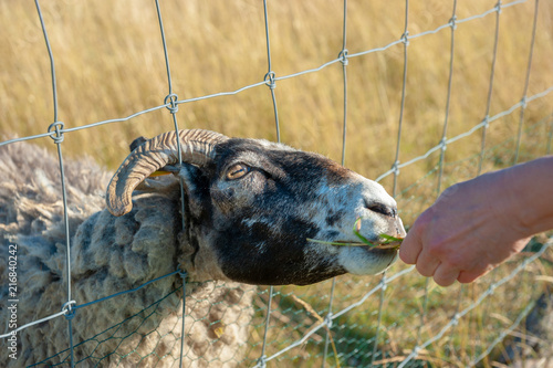 Sheep at wire-netting fence at Cape Arkona