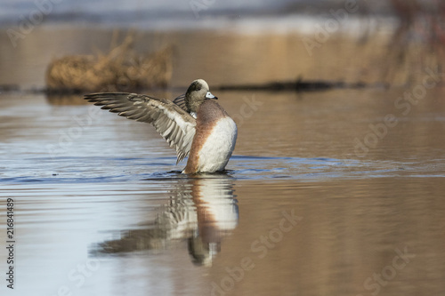 Beauriful male american wigeon duck in spring