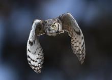 Great Horned Owl (Bubo Virgini...