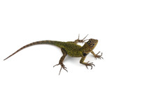 Green Spiny Lizard Isolated On...