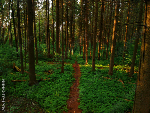 Aerial drone view of a mysterious path through a pine forest