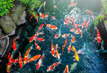 Colorful Of Fancy Carp (fish Japanese) Swimming In The Pond On The Garden.