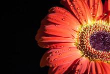 Red Gerbera Flower.