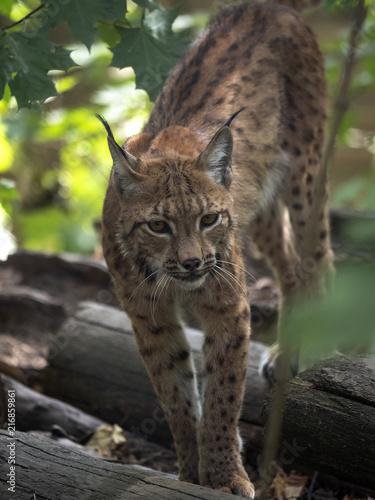 Portrait of Scandinavian lynx, Lynx lynx lynx, in forest #216859861