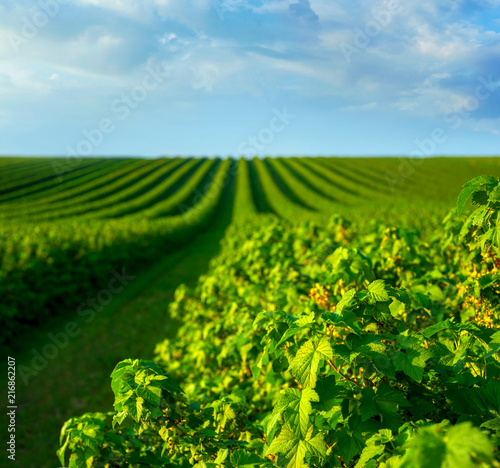 level lines of currants, plantation, ecological production of natural products Wallpaper Mural