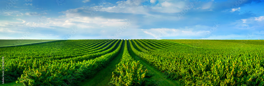 Fototapety, obrazy: level lines of currants plantation, natural fruit products.