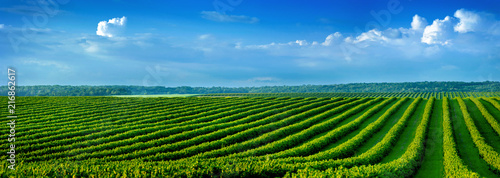 level lines rows of bush currant, fruit plantation Wallpaper Mural