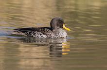 A Yellow Billed Duck Photograp...