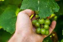 A Human Hand Holds A Bunch Of White Grapes Closeup.