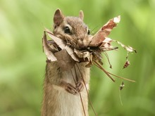 Chipmunk Collecting Leaves