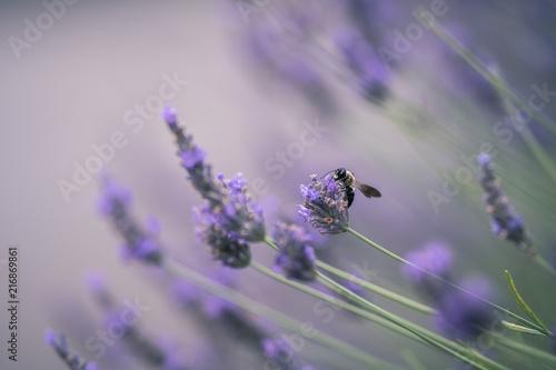 Fotobehang Lavendel Abeille noire sur la lavande