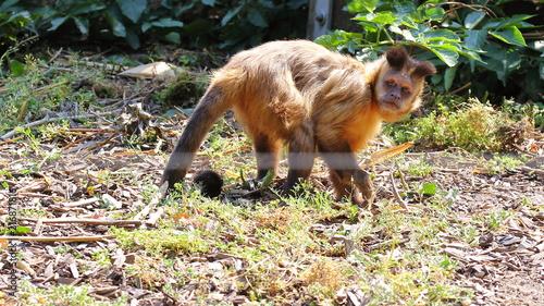 Photo Capuchin monkey looking sadly human face