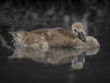 Young Canada Goose Trying To S...