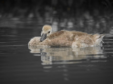 Young Canada Goose Trying To Sleep