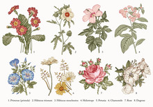 Botany. Set Vintage Realistic Isolated Flowers. Nature. Drawing Engraving. Vector Victorian Illustration. Primrose, Hibiscus, Heliotrope, Petunia, Chamomile, Rose, Dogrose.