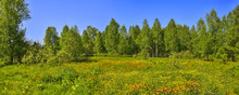 Summer Panoramic View Of Rural Landscape With Blossoming Forest Glade Or Meadow. Wild Orange Flowers Trollius Altaicus, Ranunculaceae Flowering On The Meadow