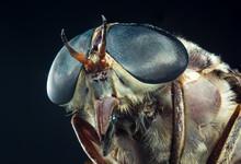 Macro Horse Fly