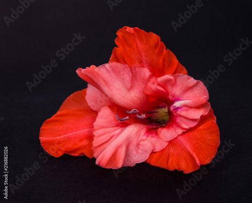 Bright red coral gladiolus flower on a black paper background buy bright red coral gladiolus flower on a black paper background mightylinksfo