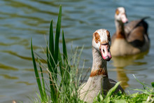 Curious Egyptian Goose (Alopochen Aegyptiaca)