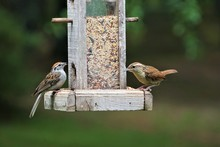 A Pair Of Carolina Wren (Thryo...