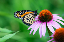 A Monarch Butterfly Feeding On...