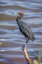 A Little Blue Heron (Egretta Caerulea) Perched Ona Branch Sticking Out Of A Lakeshore